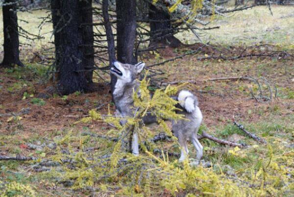 comerțul cu vânătoare de elani